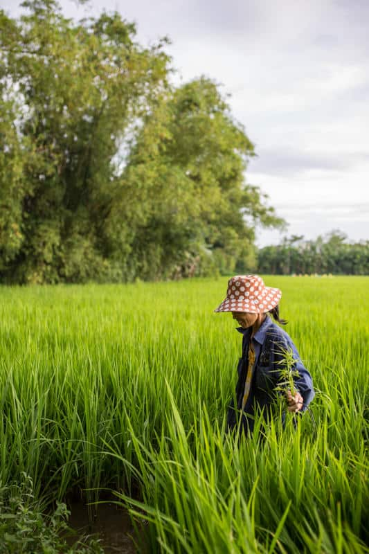 Woman coming out of a rice field, Vietnam