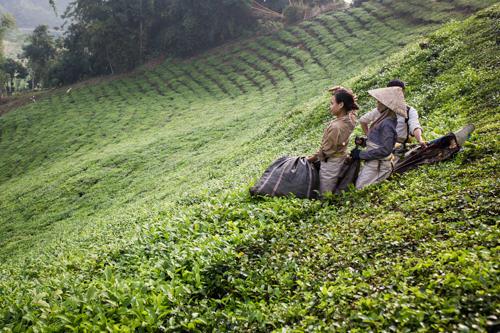 Family working in Tea fields in North Vietnam