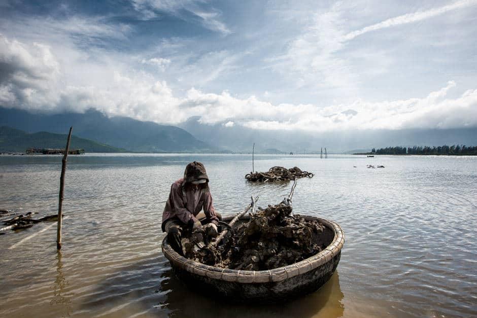 Vietnamese man harvesting oysters
