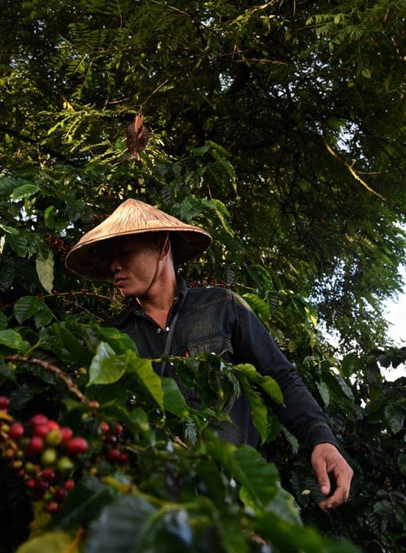 man harvesting coffee in Laos