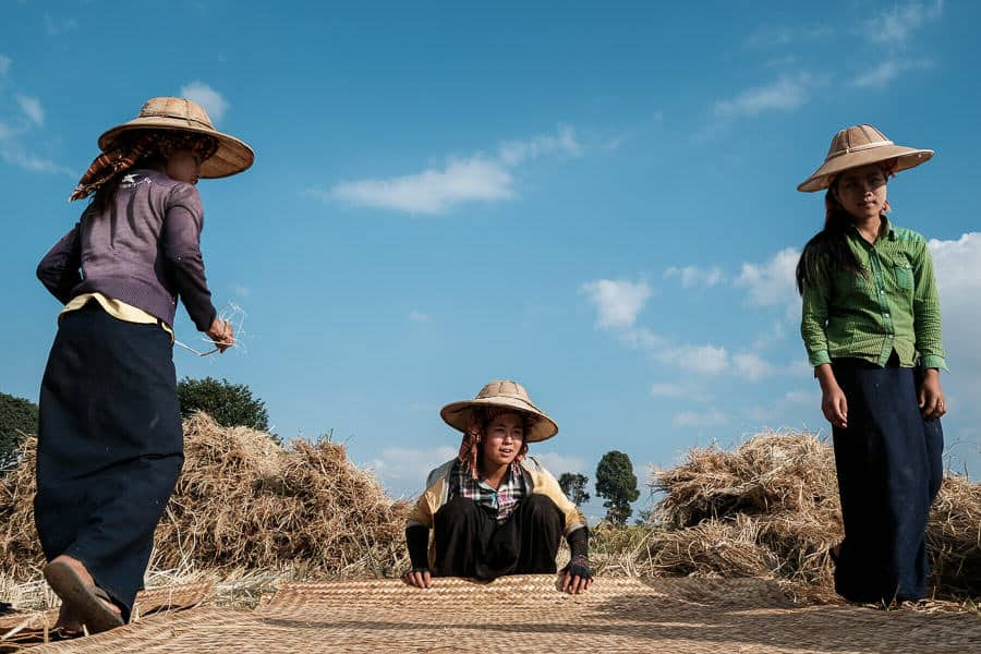 A group of Pao people harvesting rice in Myanmar during a photography tour with Pics of Asia