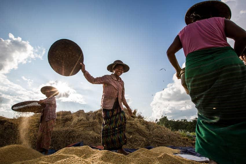Women harvesting rice in Myanmar at sunset