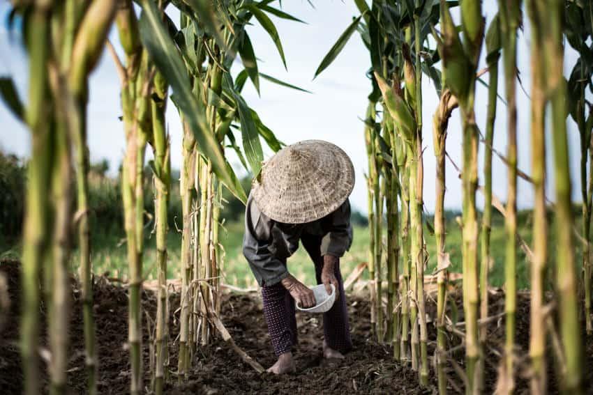 Vietnamese woman working in a corn field