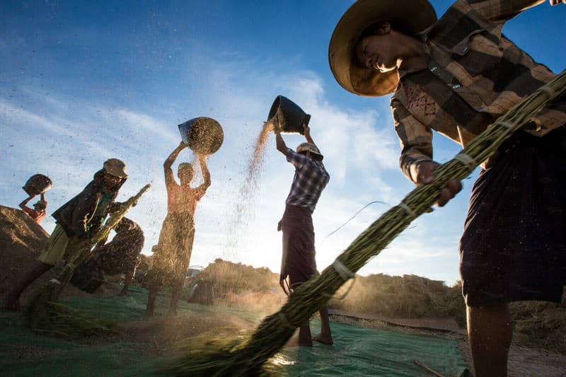 A group of Pao people sorting rice at sunset in Pindaya
