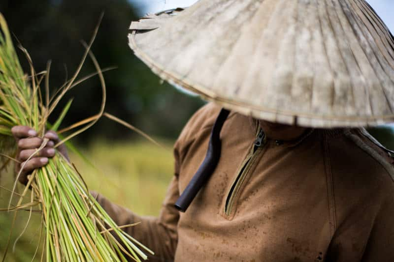 Close up of a man harvesting rice in Laos