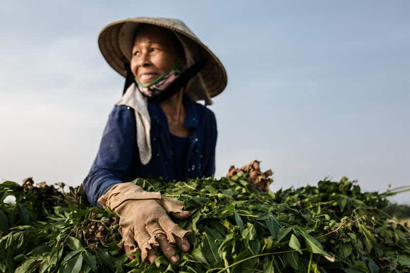 Woman with broken gloves harvesting peanuts in Vietnam