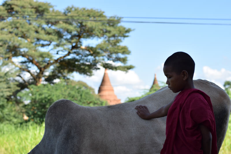 Young monk touching a cow in Myanamar