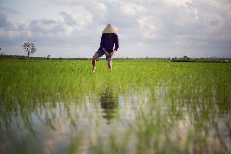 Vietnamese farmer in a rice field