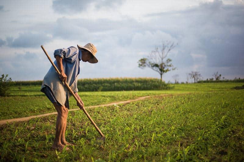 Vietnamese man ploughing a peanut field