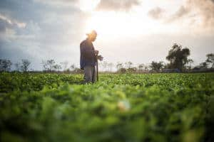 Man in Vietnam working in a green peanut field at sunset
