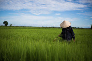 A woman walks by herself through a rice field in Vietnam - Pics of Asia photo tours