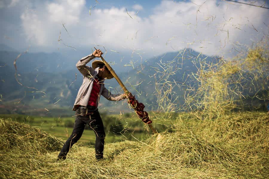 Hmong harvesting rice in North Vietnam