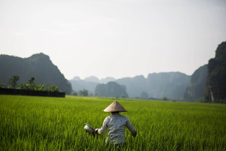 Woman working in a rice field in Ninh Binh