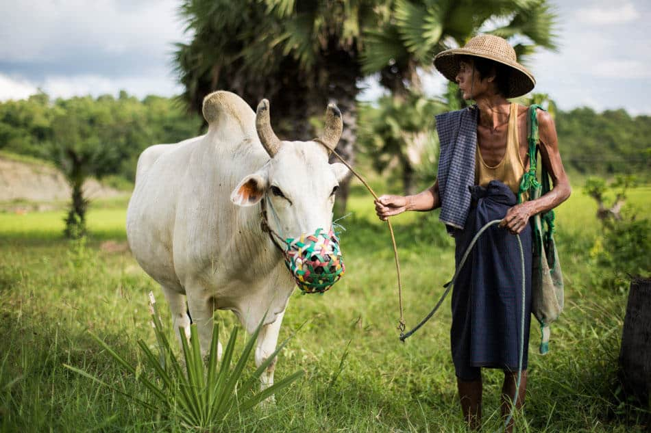 Burmese man and his cow