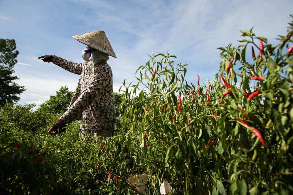 Vietnamese woman in a chili field