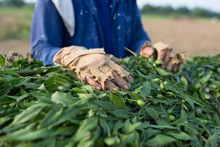 A farmer with broken gloves harvesting peanuts in fields near Hoi An