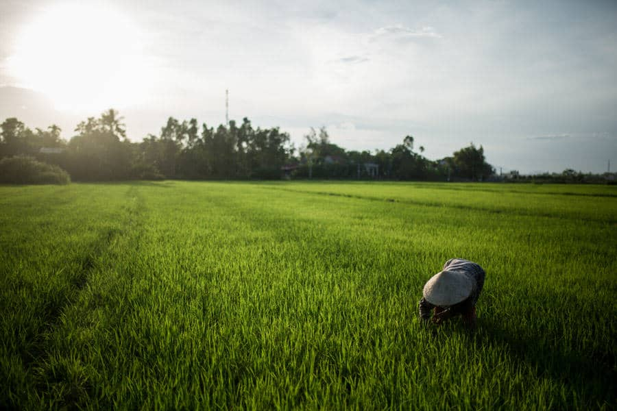 farmer in a green rice field in hoi an during a photography tour with pics of asia