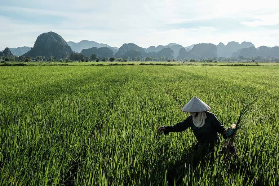 Woman harvesting rice in Ninh Binh