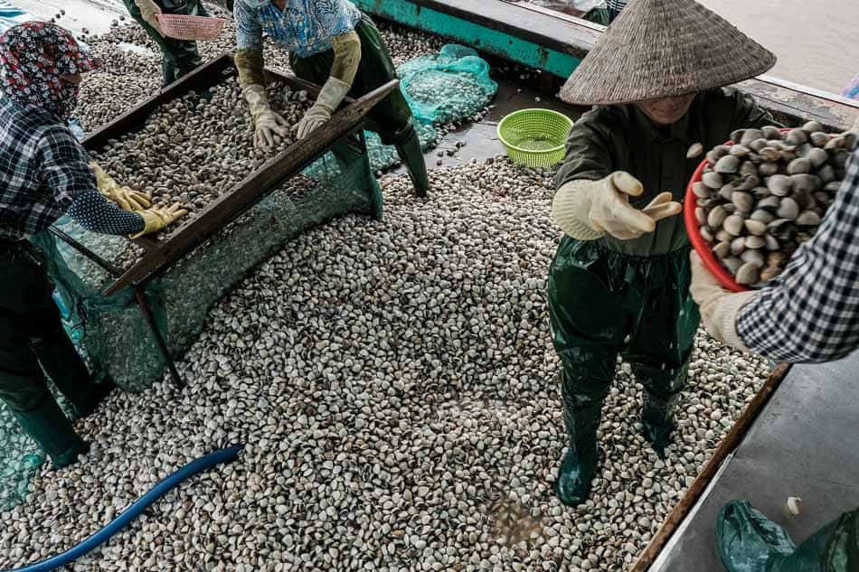 Vietnamese people harvesting clams in Thai Binh, North Vietnam