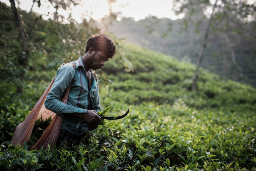 A man picking up tea leaves early morning in Sreemongol, Bangladesh