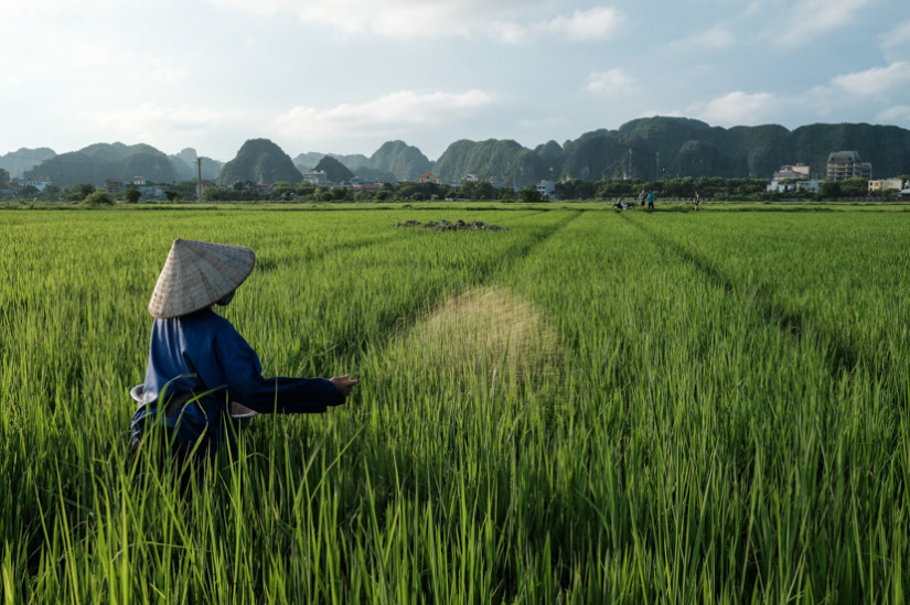 A woman throws rice seeds in vibrant green rice paddies of Ninh Binh Vietnam - Pics Of Asia Photos Travels Tours