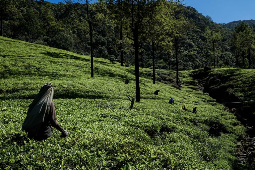 Worker picks tea at Tea plantations in the Ella region of Sri Lanka - Photo taken by Pics Of Asia