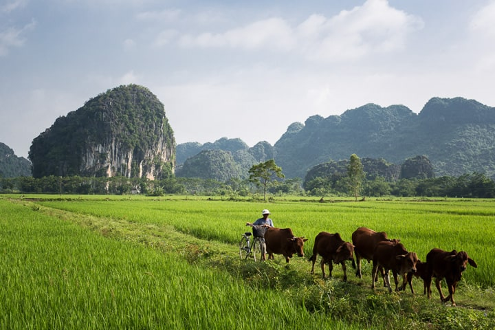 Cows cross a vibrant green rice field set against a background of limestone mountains in Vietnam - Taken On Tour With Pics Of Asia