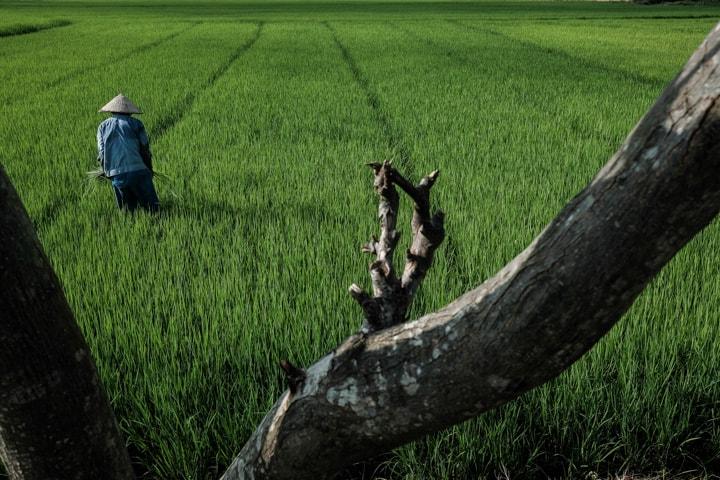farmer in a rice field in Vietnam