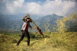 A Farmer Leans Into A Large Pile Of Hay During Harvest Season In North Vietnam - Pics Of Asia Photos Travels Tours