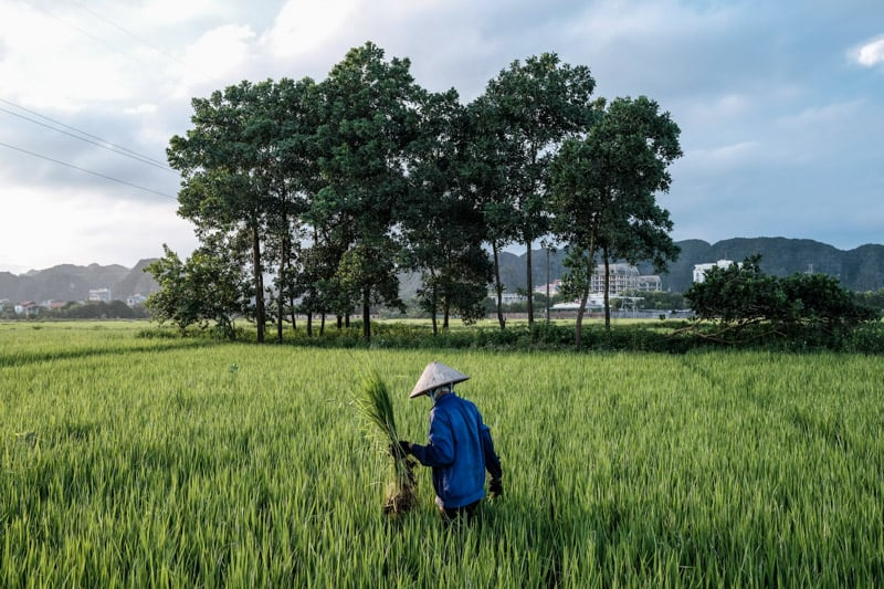 A Ninh Binh farmer in rice paper hat plants long stalks of rice in the paddy - Taken On Tour With Pics Of Asia
