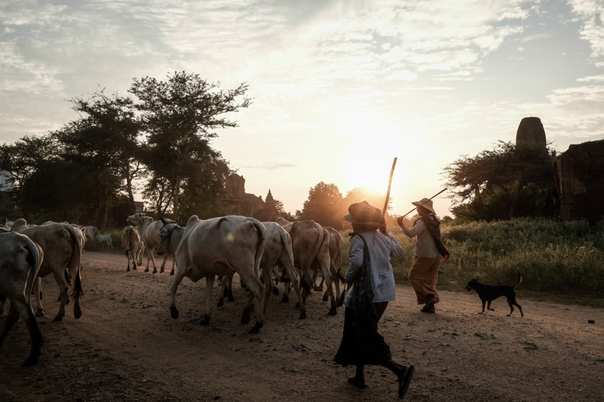 Cow herders in Bagan, Myanmar at sunset