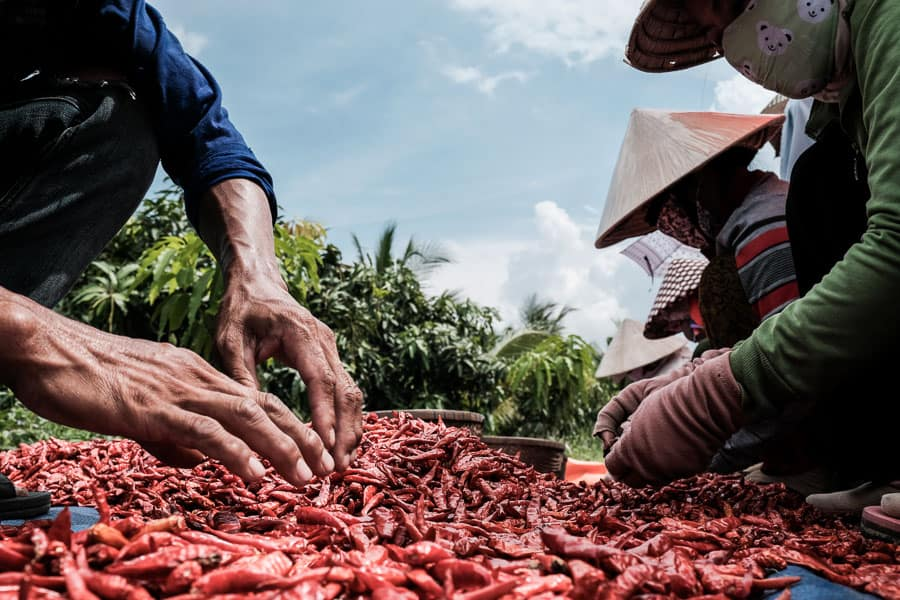 people drying red chilies in the mekong delta