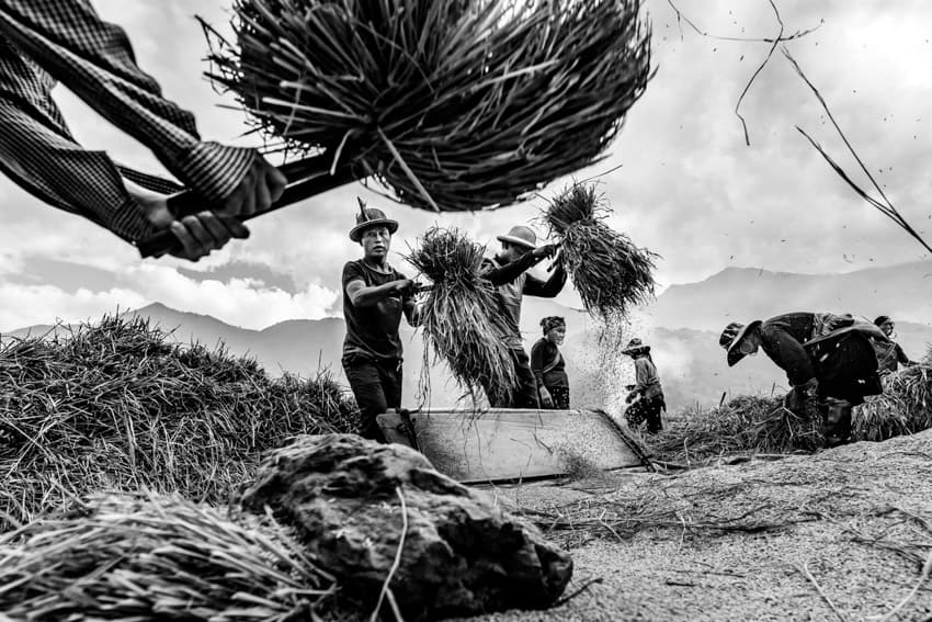 A group of Hmong harvesting rice near Ta Van in North Vietnam. Photo taken by Quinn Ryan Mattingly in Pics of Asia North Vietnam photography tour