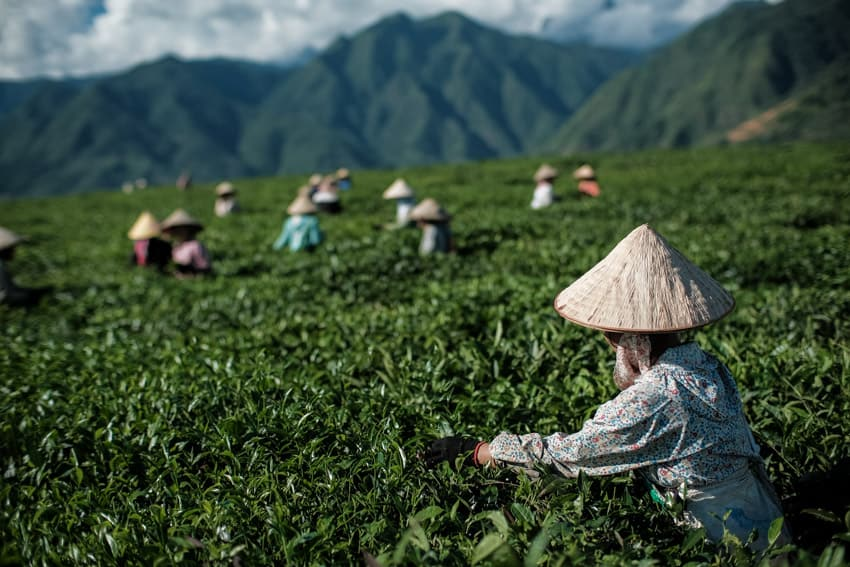 A group of tea leaf pickers in the tea fields of Tan Uyen during a photography tour with Pics of Asia