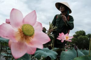 A man picking up lotus flowers in a field near Hue in Vietnam during a photo tour with pics of asia
