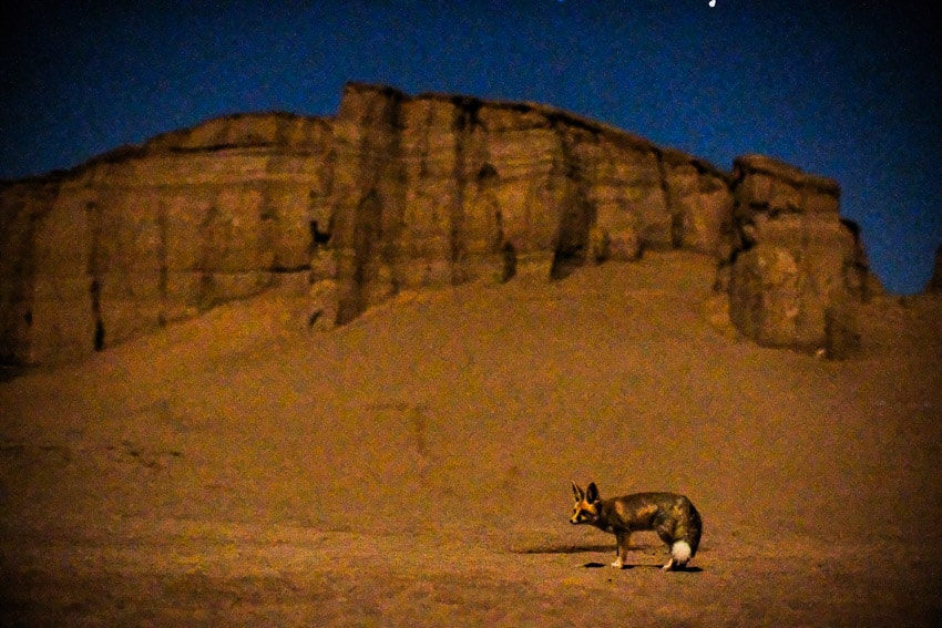 Night photo of a desert fox in the desert of Kalouts in South Iran during Pics of Asia photography tour
