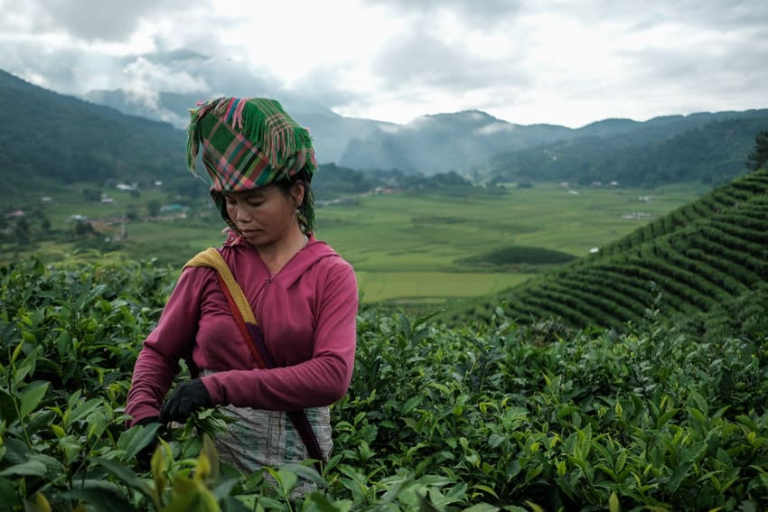 Meeting a Tai woman working in a tea field in North Vietnam on a photo tour with Pics of Asia