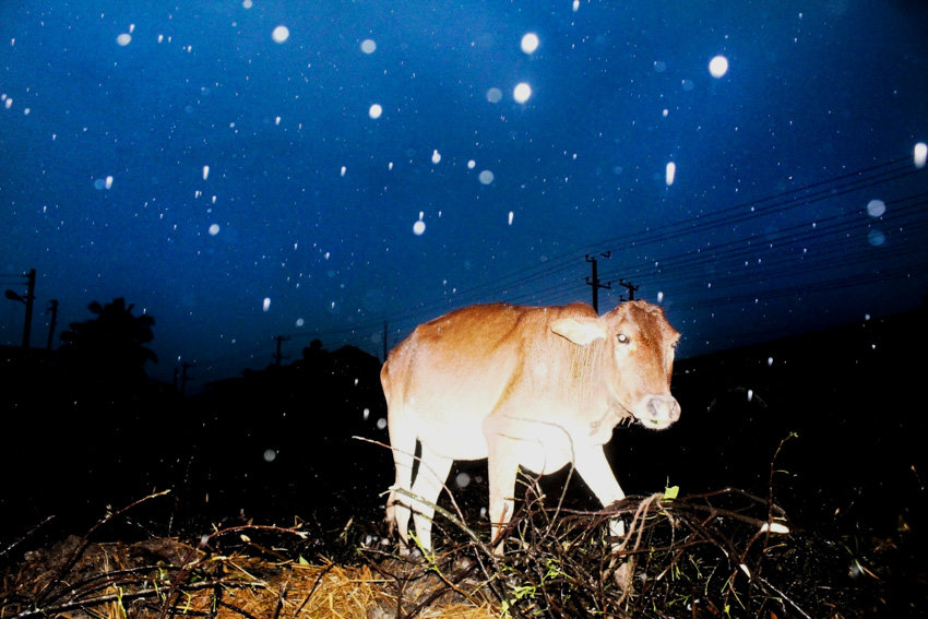 A photograph of a cow in the rain in Bangladesh taken by Nayeem Jabaz for an article about flash photography with Fujifilm for Pics of Asia