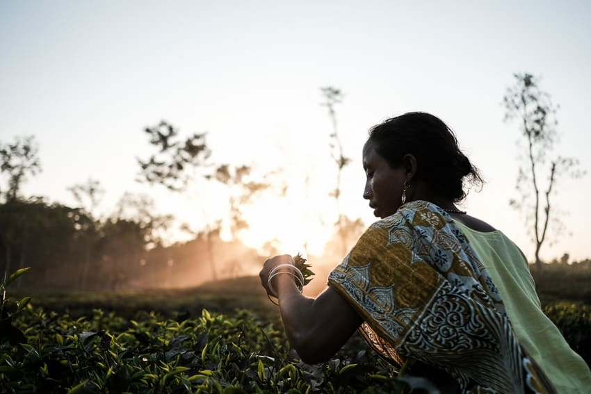 A woman working in a tea field at sunset in Sreemongol, Bangladesh