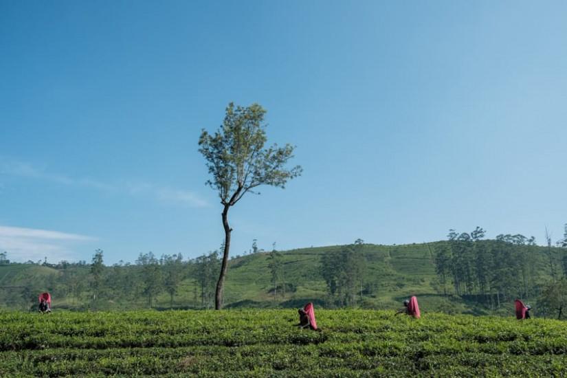 A group of Tamil women working in a tea field near Nuwara Eliya, sri lanka