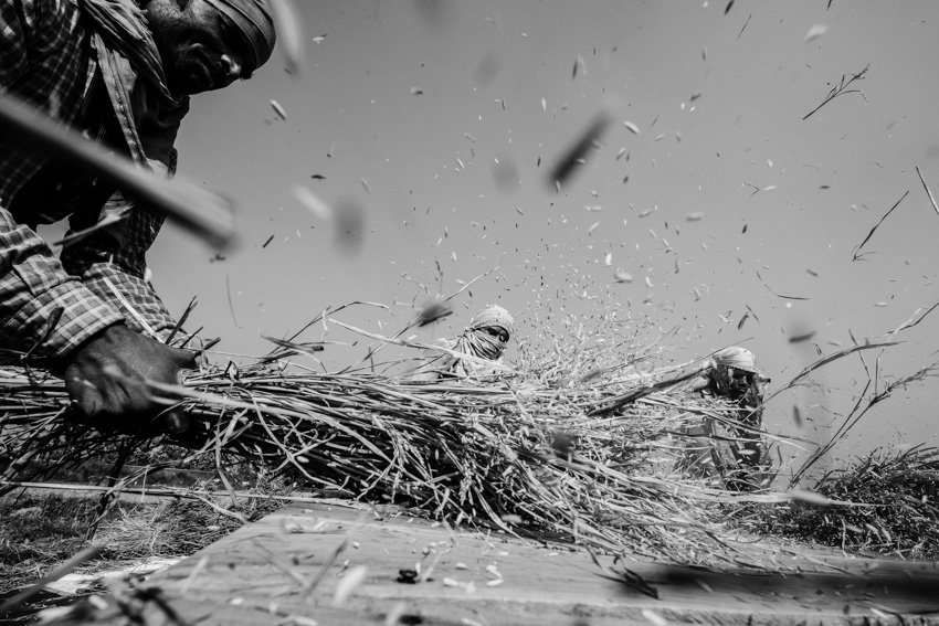 A group of men harvesting and gathering rice in the countryside of Varanasi during a photography workshop by Pics of Asia