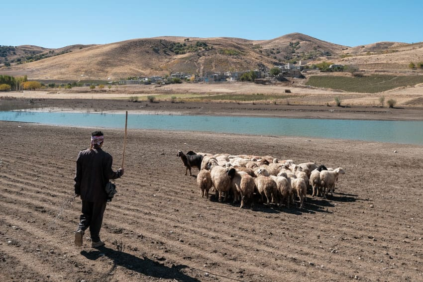 Sheep and herder walking back to their village in the Iranian Kurdistan