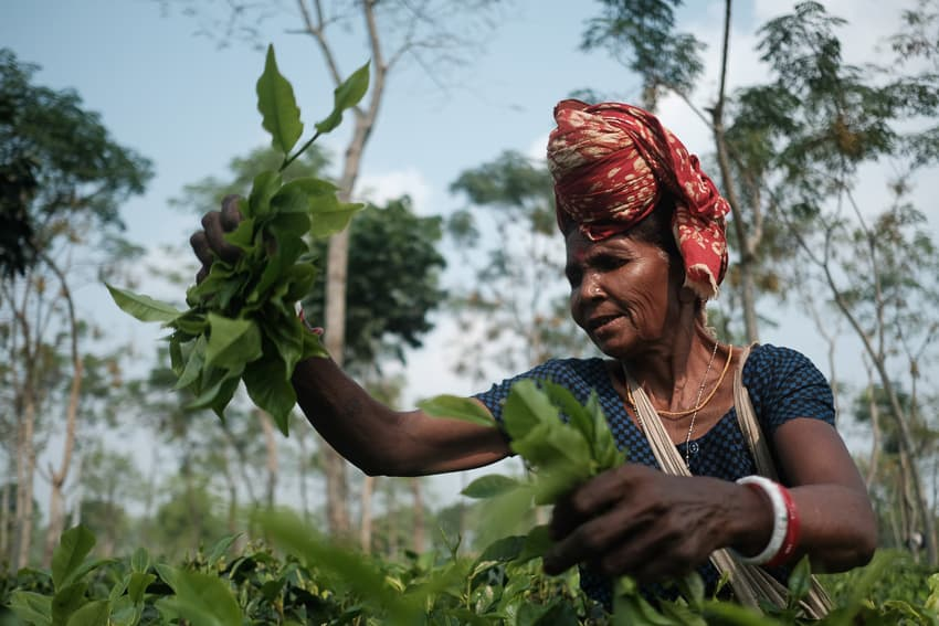 close up of a woman working in the tea estates of North Bangladesh taken during a photography tour with Pics of Asia