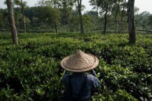 A woman is picking up tea leaves in a tea estate in Sreemongol