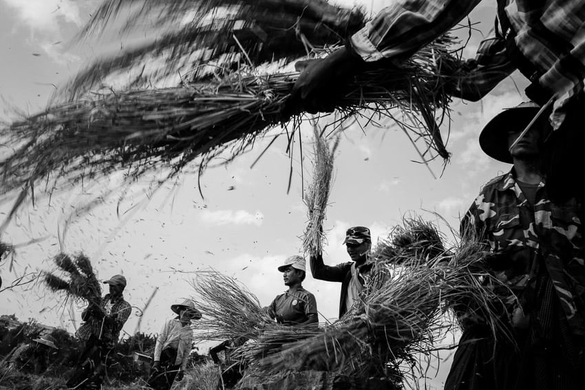 Pao people harvesting rice in Pindaya, Myanmar