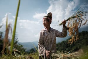 capturing the minorities harvesting rice in the mountains of North Vietnam on a photo tour with Pics of Asia