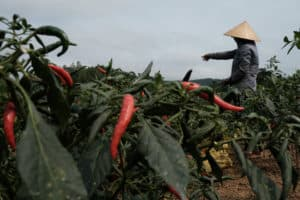 working in a chili field in central Vietnam