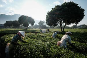 capturing the Hmong people picking up tea leaves in North Vietnam with Pics of Asia