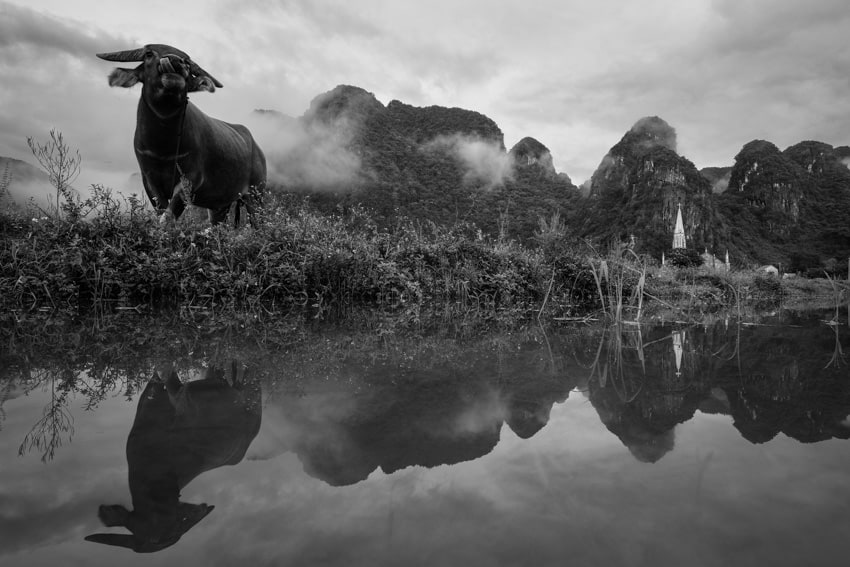 A buffalo eating near a pond in Phong Nha national park on a photo tour with Pics of Asia