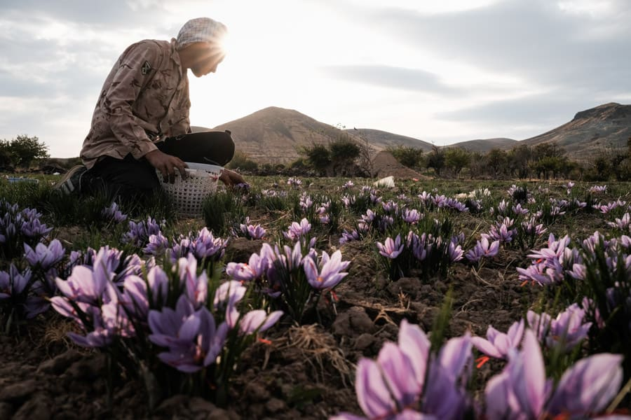 A man harvesting saffron in Khorasan, Iran during a photography tour with Pics of Asia